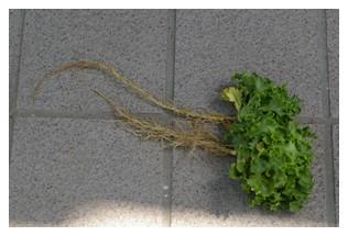 フリンジグリーンの根