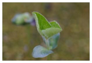 枝豆の本葉