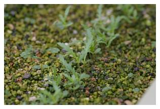 春菊の本葉