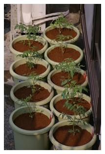 トマト定植完了