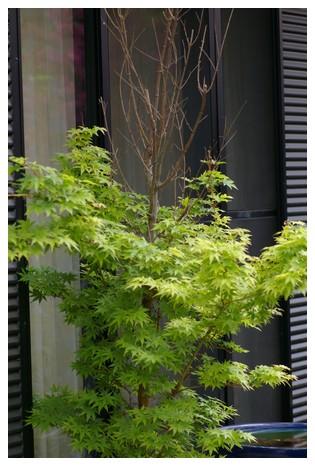 鉢植えのモミジ