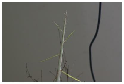 黒竹の様子