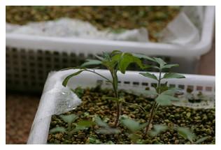 移植前のトマト
