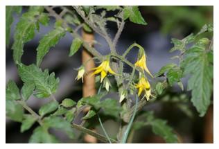 シシリアンルージュのお花