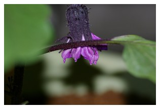なすのお花