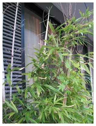 黒竹のタケノコ?