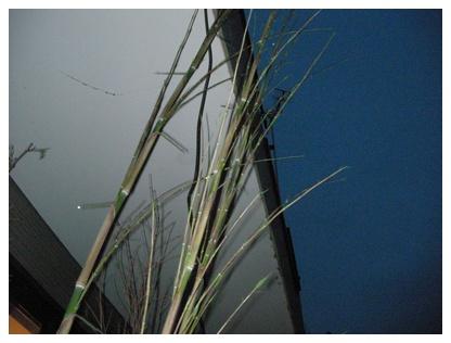 黒竹の葉っぱ