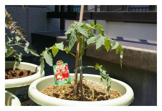 サマーキッスの苗定植