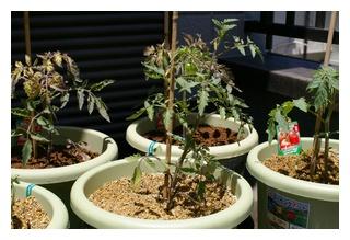 フルーツトマトの苗定植