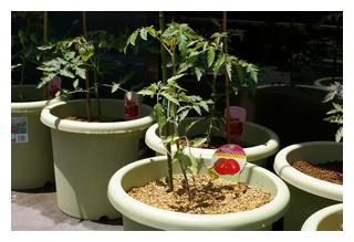 ジャンボスイートトマト定植