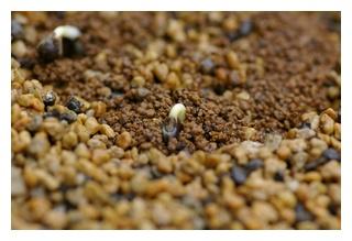 丸オクラの芽