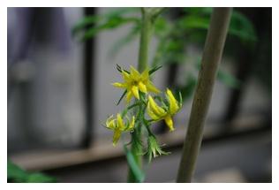 トマトのお花