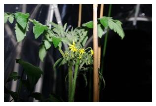シシリアンルージュの花房