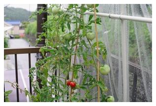 トマトの様子