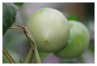 ジャンボスイートトマトの実