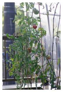 トマト達の様子