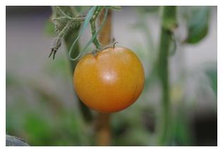 フルーツトマトの実