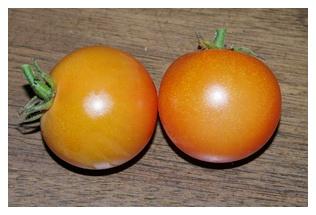 収穫したトマトの実