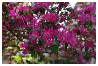 ベニトキワマンサクのお花