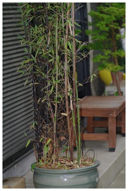 黒竹のタケノコ