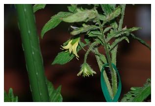 大型福寿トマトの花房