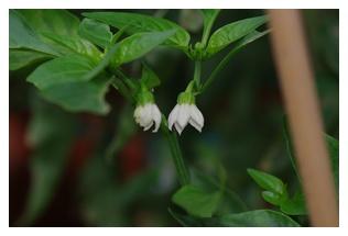 ピーマンのお花