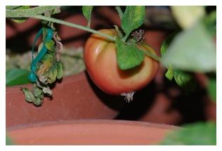 大型福寿トマトの実