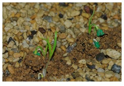 日本ほうれん草の芽