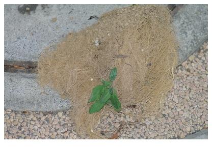 トマトの根