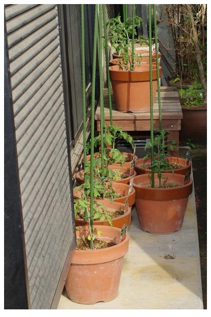定植したトマト