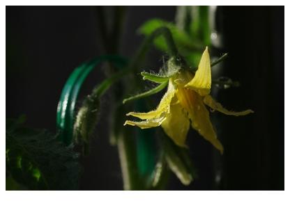 ボンリッシュのお花