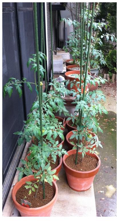 トマトの全景