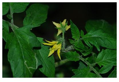 フルーツゴールドの花房