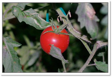 スィートトマトの実