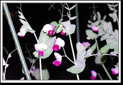 インゲンのお花
