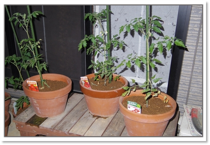 トマトたち