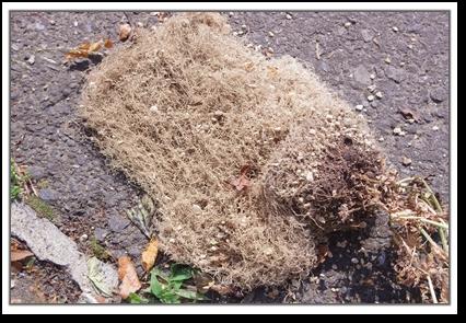 サヤエンドウの根っこ