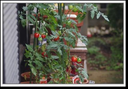 トマトたちの様子