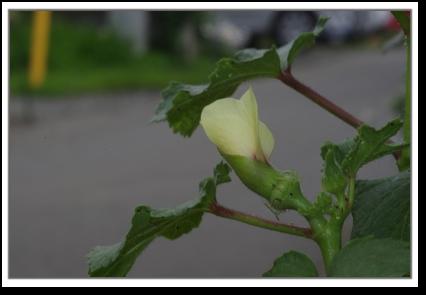 琉球島オクラのお花