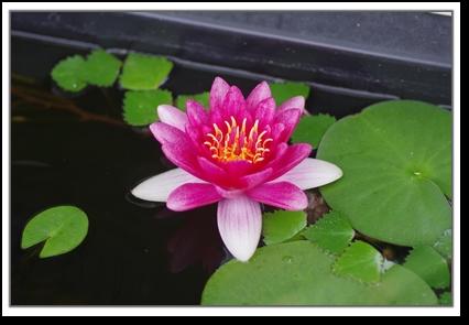 睡蓮のお花