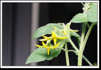 リトルサマーキッスの花