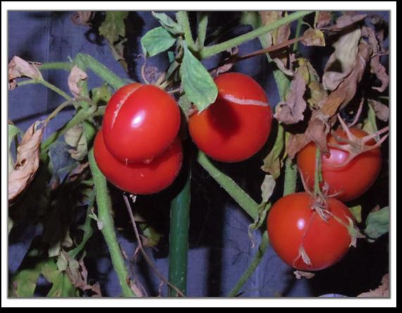 うまみトマト