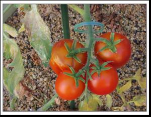 フルーツトマト