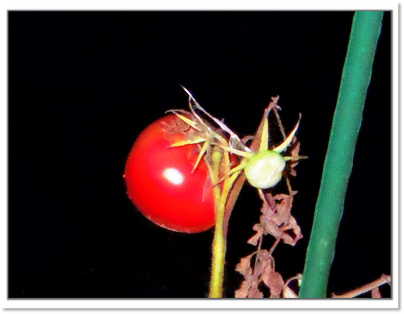 かあさんトマト