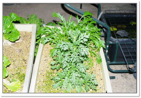 水菜と春菊