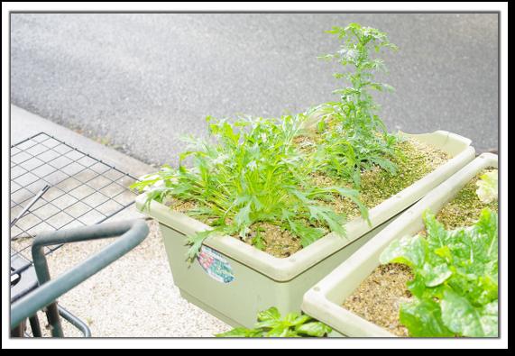 春菊と水菜