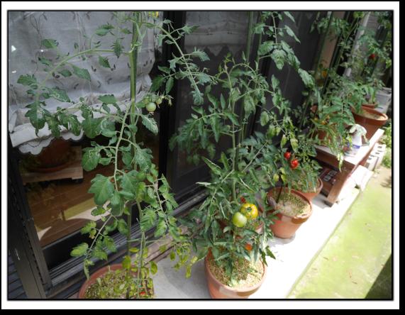 トマト全景
