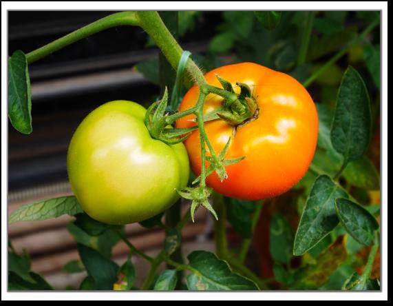 きらきらトマト