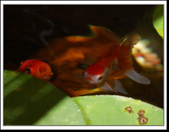赤金魚とオランダシシガシラ
