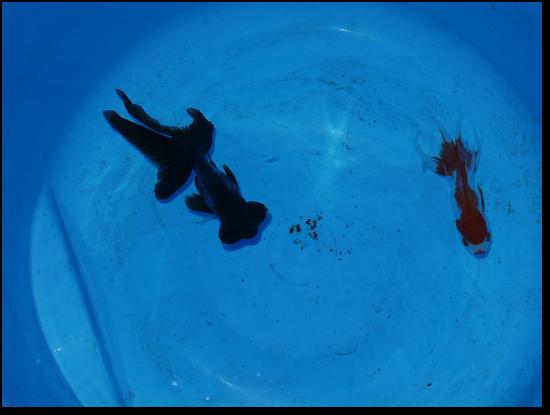 薬浴中の金魚
